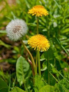 RX-DK-CGG35206_Common_Lawn_Weeds_Dandelion_v.jpg.rend.hgtvcom.1280.1707